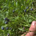 Punct de achiziţie a fructelor de pădure în Albac