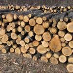 Bărbat de 48 de ani din Scărișoara cercetat penal pentru furt și tăiere ilegală de arbori