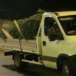 20 de brazi de Crăciun, transportați fără documente de proveniență de către un bărbat de 37 de ani din Galda de Sus, confiscați de polițiștii din Câmpeni