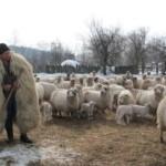 Şi în judeţul Alba, crescătorii de ovine şi bovine sunt în fierbere