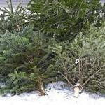 70 de pomi de Crăciun gasiți abandonați pe raza comunei Bucium confiscați de polițiști