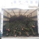 70 de brazi de Crăciun, transportați în mod ilegal, confiscați de polițiștii din Câmpeni în urma unui control în trafic efectuat pe DN 75