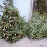 45 de brazi de Crăciun găsiți de polițiștii din Vadu Moţilor şi Arieșeni abandonați pe terenuri virane din Popeștii de Sus și Dealu Bajului