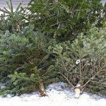 15 brazi de Crăciun găsiți abandonați pe un teren din Albac, confiscați de polițiștii din Câmpeni și predați Ocolului Silvic din localitate