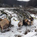 Dosar penal pentu un bărbat de 36 de ani din Ocoliș pentru furt și tăiere ilegală de arbori