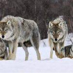 Zeci de oi au fost atacate de lupi pe raza comunei Ocoliș