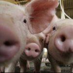 Când este Ignatul porcilor. Ziua de Ignat: porcii se taie în zorii zilei, se stropesc cu apă sfințită | campeniinfo.ro