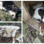 Mai mulți câini au fost împușcați și lăsați pe câmp, pe strada Muncel de Câmpeni