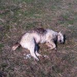 IPJ Alba a început verificările și caută vinovații în cazul câinilor găsiți morți, în apropierea caselor din Câmpeni